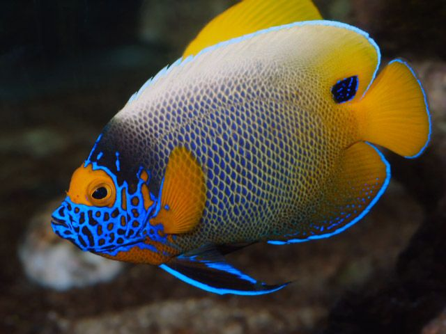 """Blue Face Angelfish JUVENILE """"Available"""" 
