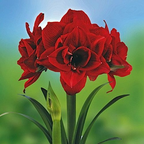 Cherry Nymph Amaryllis Bulb 34 Cm Double Red Amaryllis Bulbs Bulb Flowers Amaryllis