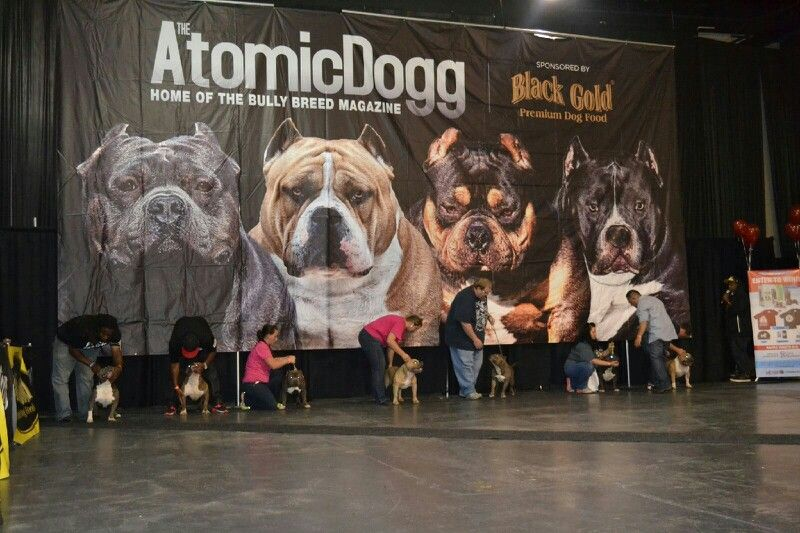 American Bully Dog Show With Images Bully Dog American Bully
