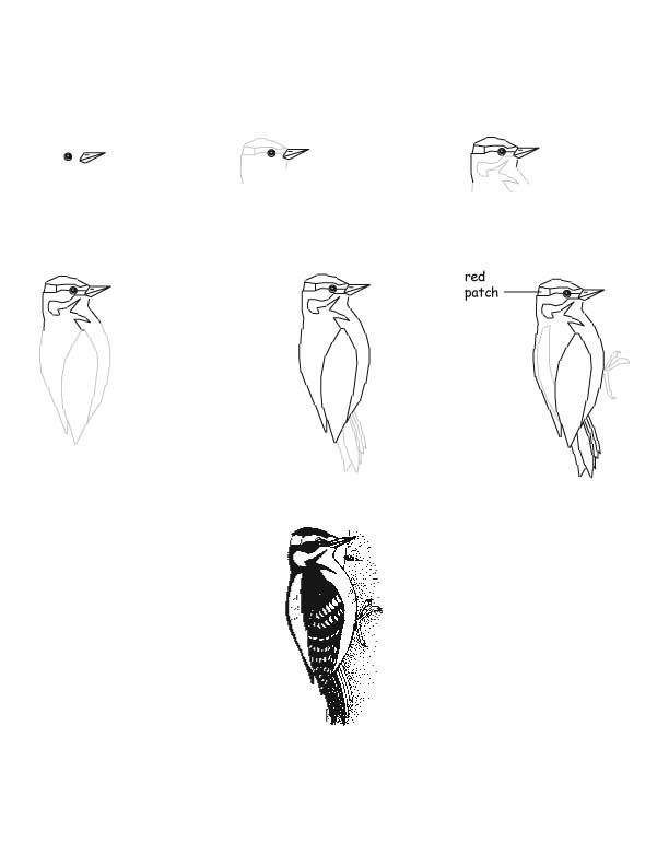 woodpecker hairy drawing lesson artsy birds