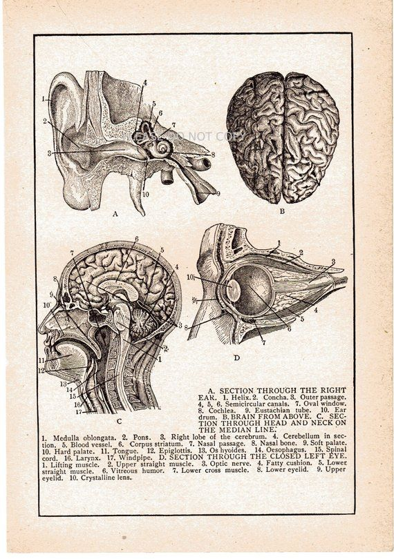 Internal Structures of Ear Art Print on Vintage Book Page Medical Anatomy Decor
