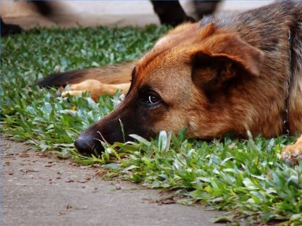 Homeopathic Help for Dog Ear Infections Dog psychology