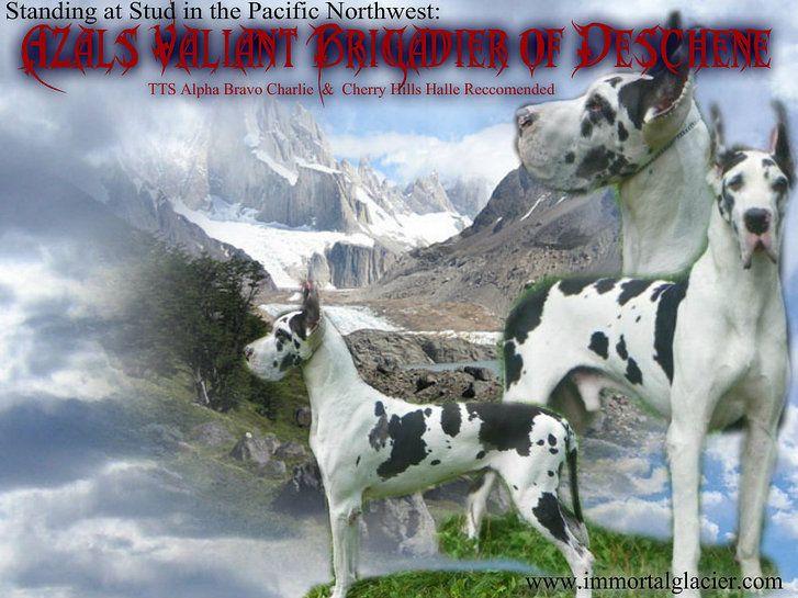 Immortal Great Danes and Glacier Mini Lops | Briggs
