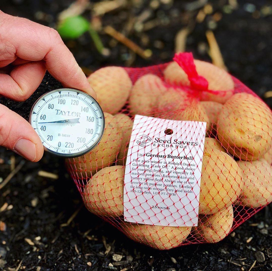 Gardening tip planting potatoes planting potatoes