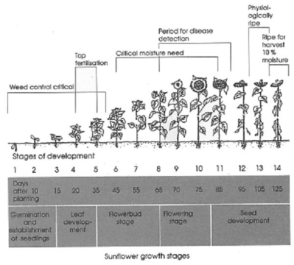 sunflower plant life cycle diagram 1984 ford f150 wiring growing stages and seed development - when to weed, fertilize, water | garden ...