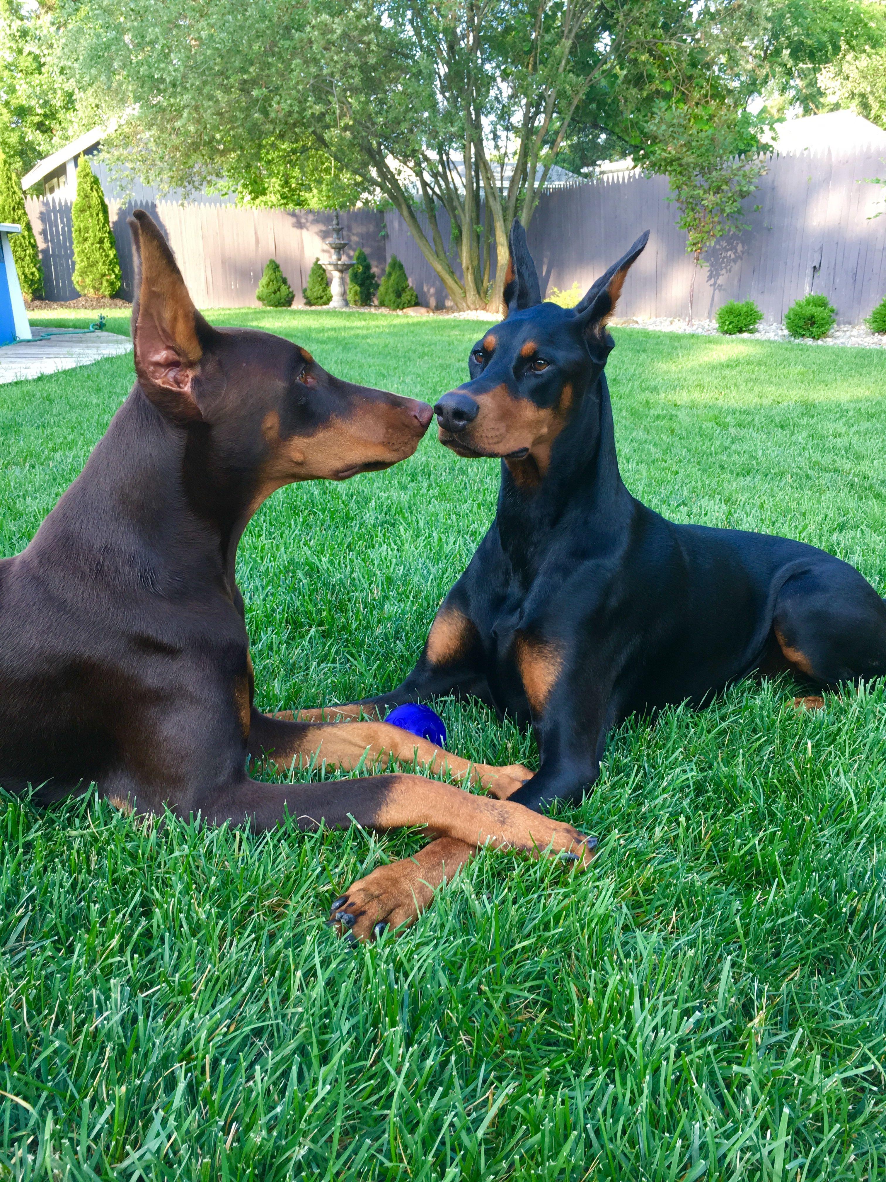 Always Looking For A Kiss Doberman Beautiful Dog Breeds