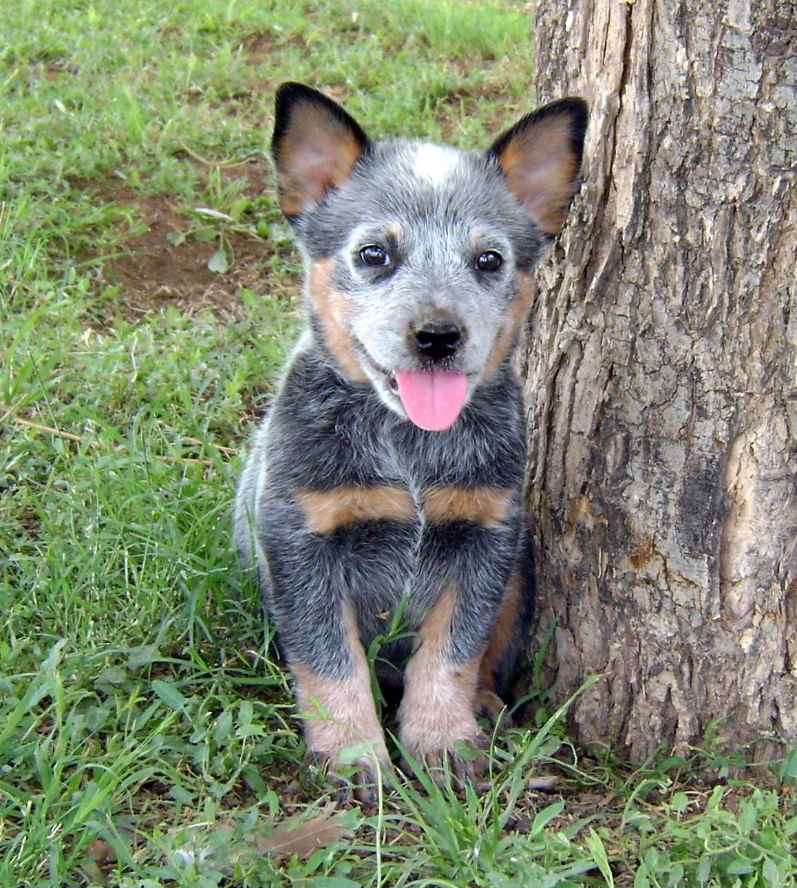 Cake Day Dags Imgur Heeler Puppies Austrailian Cattle Dog Cattle Dog