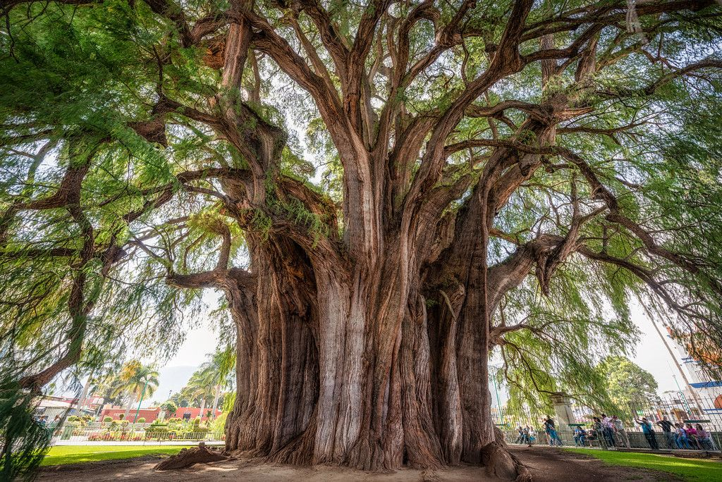 El Arbol de Tule   © 2013 Pixamundo The tree with what is likely the largest diameter is El Arbol del Tule, an Ahuehuete or Montezuma Cypress growing in Oaxaca, Mexico in the town of Santa Maria del Tule. The trunk of the tree is 33 feet in diameter and has a circumference of 178 feet. Originally thought to be multiple trees that had grown and fused together, DNA tests have shown that it is actually all one tree.