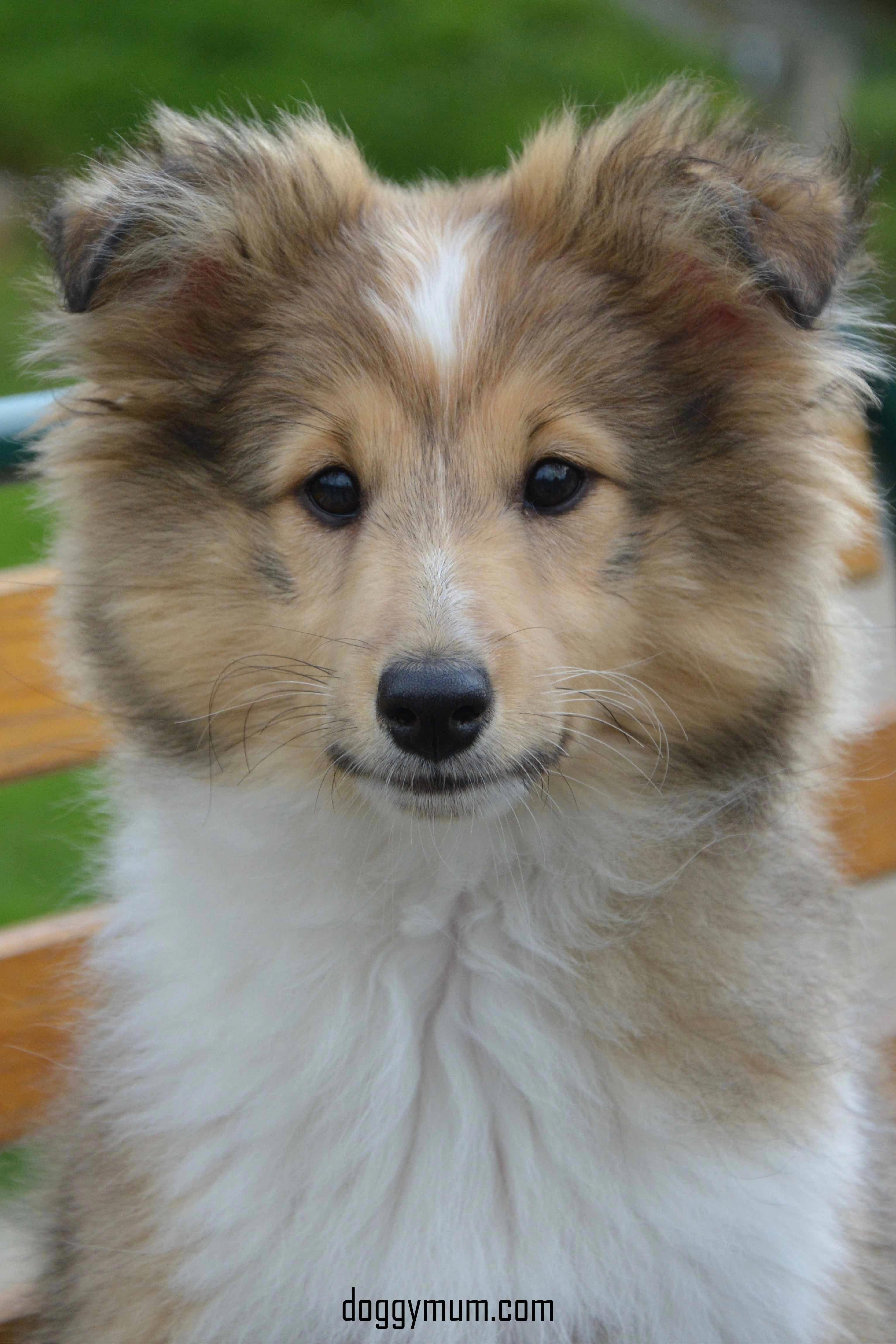 More About Playfull Shetland Sheepdogs Exercise Needs