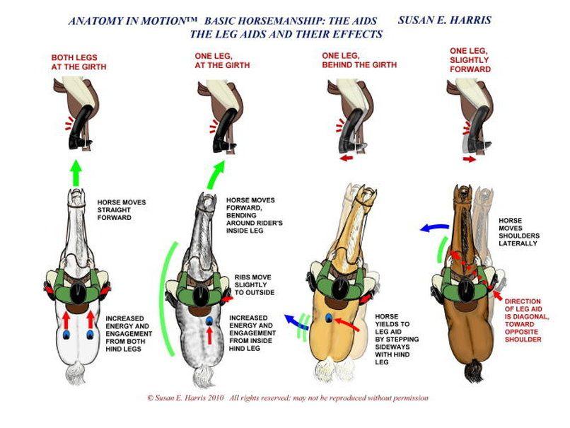 Nice Horse Hind Leg Anatomy Ideas Human Anatomy Images