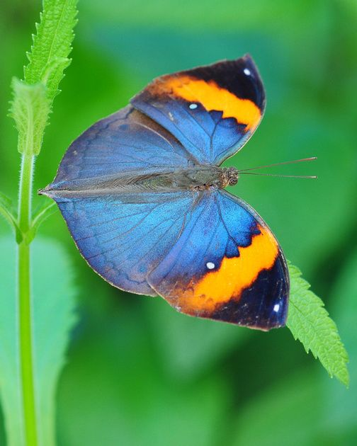 ~~Indian Dead Leaf Butterfly by Andy Wilson / AndysLens~~