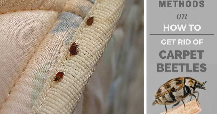 How to get rid of carpet beetles best steam cleaner