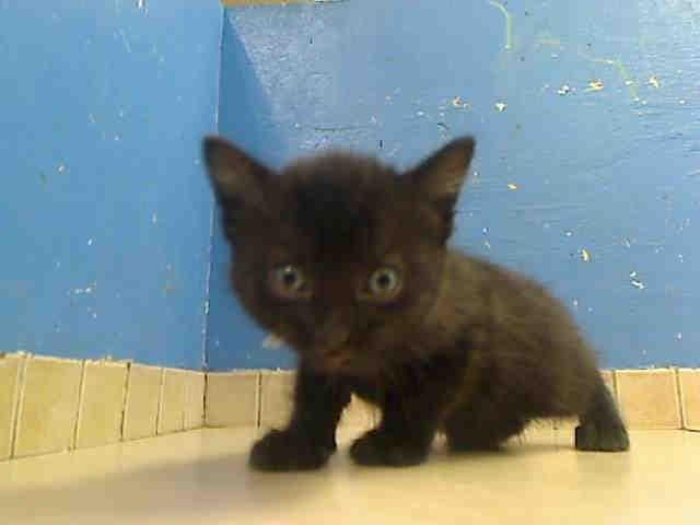 Arrived In Shelter 12 30 12 And Killed Tomorrow Manhattan Shelter Little Male 6 Wks Please Rescue Nee With Images Kitten Adoption American Shorthair Cat Kitten Rescue