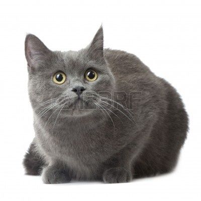 Image Result For Burmese Cat Russian Blue Russian Blue Cat Cat