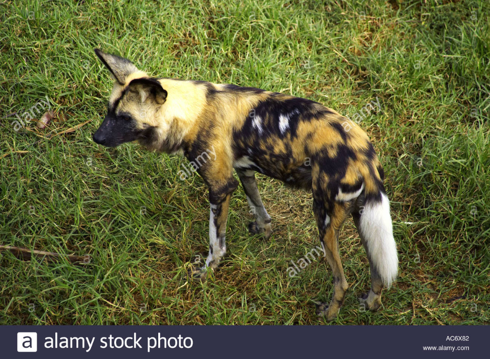 Download this stock image African Wild Dog Lycaon pictus