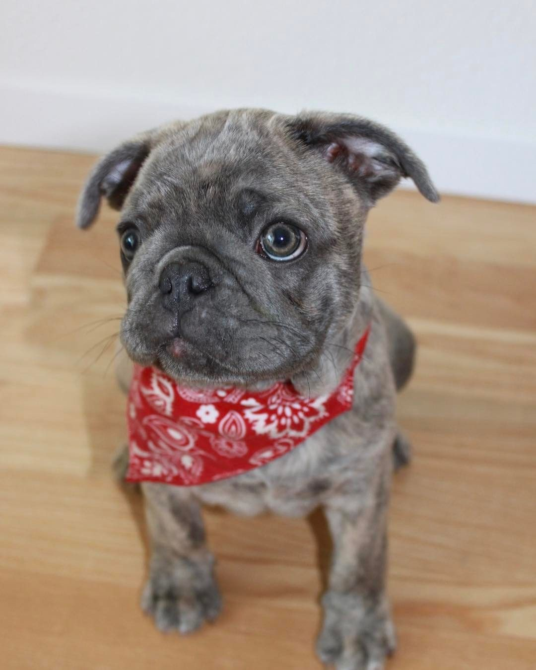 this is a frug puppy, a french bulldog and pug mix | cute | pug mix