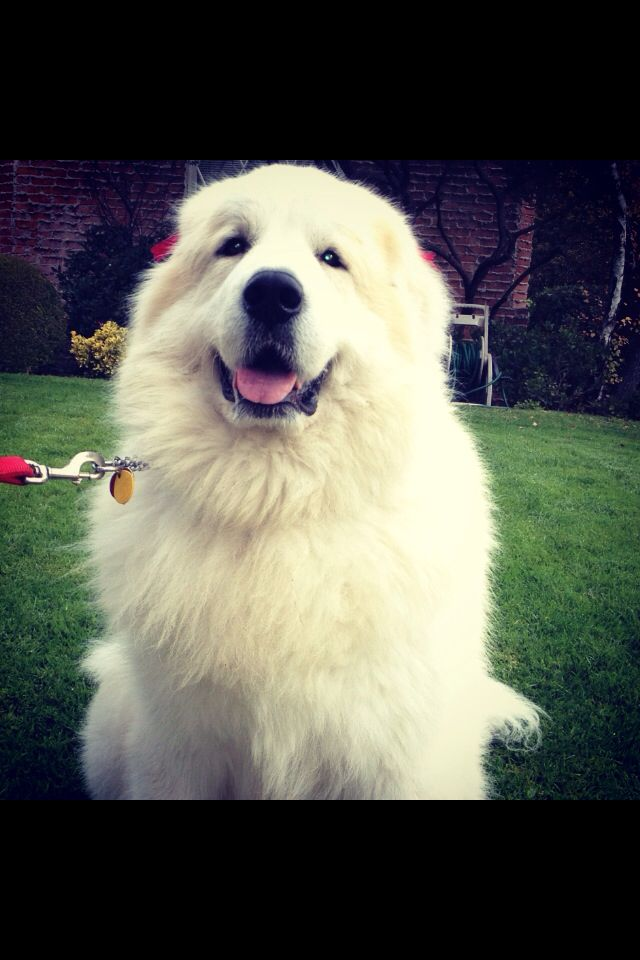 Pin by Sylvia Diaz on Animal Lover   Great pyrenees ...