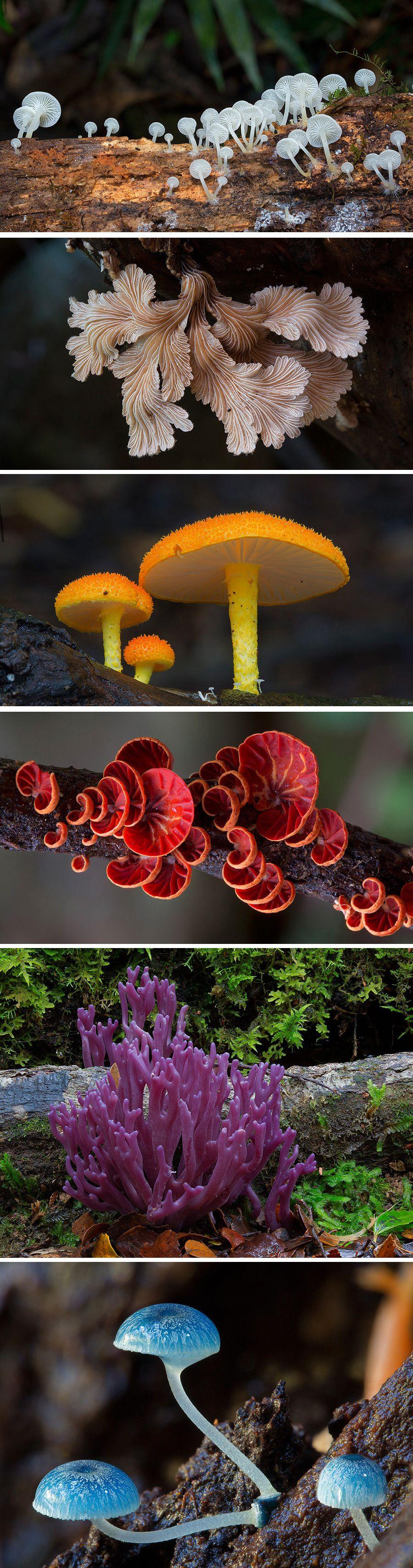 Clavaria Zollingeri Violets Mushrooms And Mushroom Fungi - Photographer captures the beautiful diversity of australias fungi