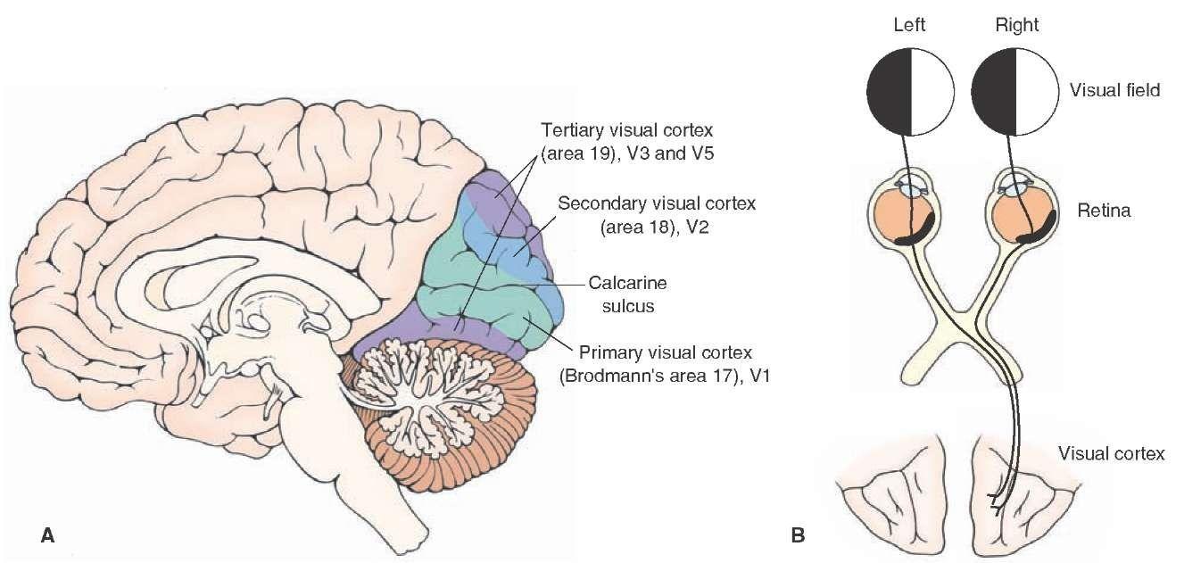 Primary visual area google search neuroanatomy pinterest primary visual area google search fandeluxe Gallery