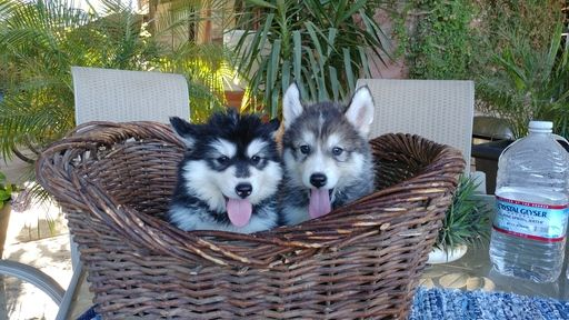 Siberian Husky Puppy For Sale In Fresno Ca Adn 35514 On Puppyfinder Com Gender Female Age 8 Weeks Old Husky Puppy Husky Puppies For Sale Siberian Husky