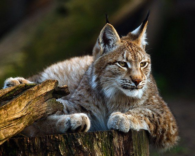 Lynx Berlin