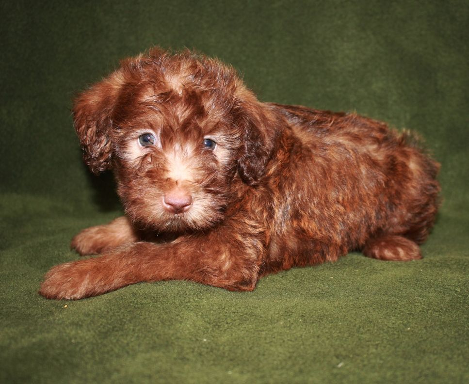 Jasper Male Chocolate Mini Whoodle 9 19 14 This Puppy Is