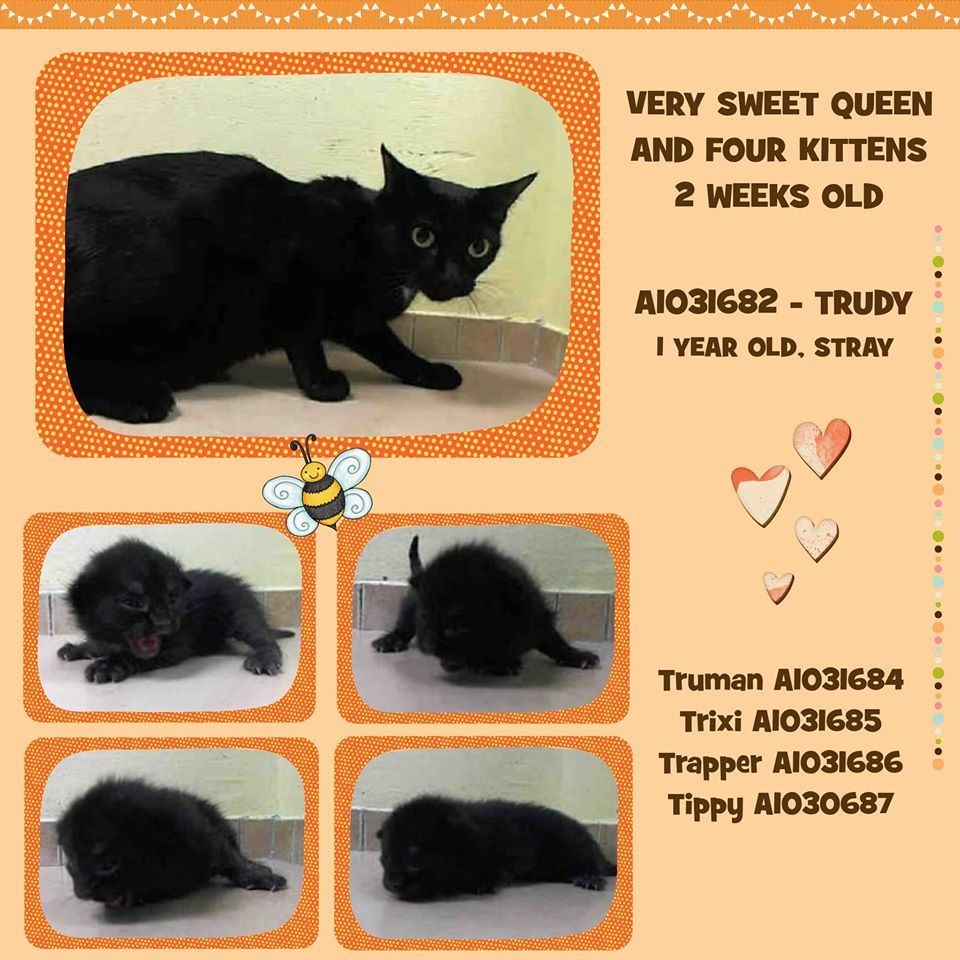 Queen And Four 2 Week Old Kittens Trudy A1031682 1 Year Female Black Dsh Stray Http Www Petharbor Com Pet Asp Uaid Nwyk1 A1031682 Two Week Old K Kittens