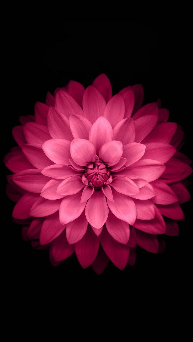 Download Bright Pink Flower Petals Wallpaper - GetWalls.io