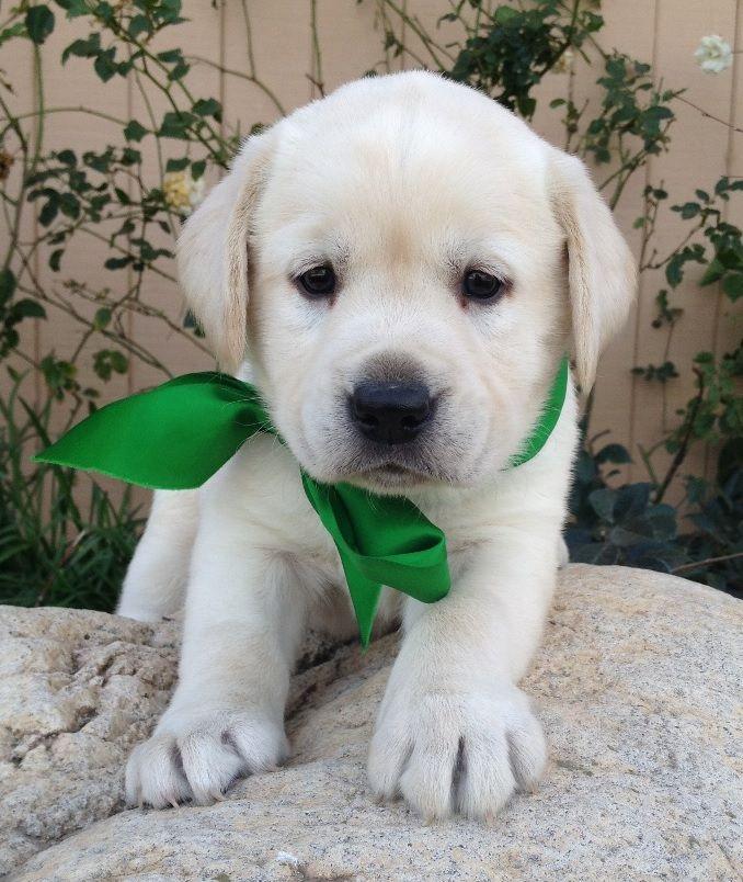 Cream Labrador Female Puppy White Labrador Puppy White Labrador Labrador Retriever