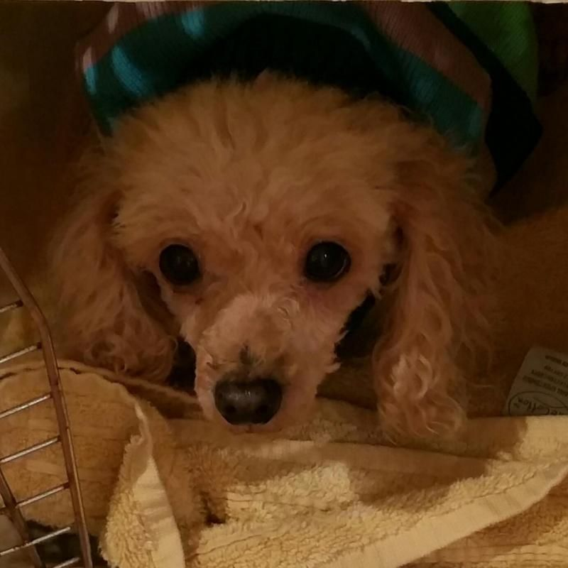Adopt Honey Poodle On Poodle Dog Poodle Dogs