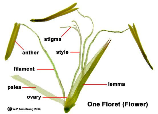 A single fertile floret (flower) of yellow-groove bamboo ...