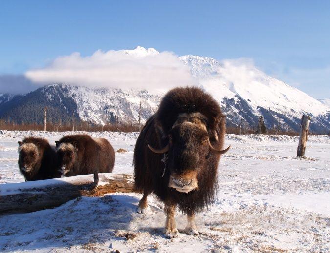 Alaska Endangered Species Photos Alaska Tour Jobs Alaska Wildlife Animals Alaska