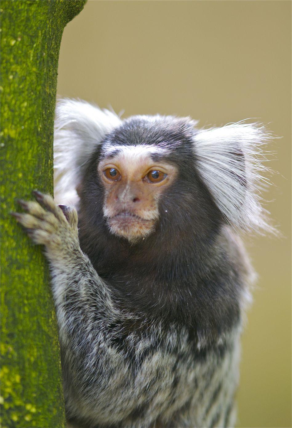 Marmoset | Common marmoset, Monkey breeds, Marmoset monkey