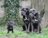 Chiots Cané Corso Lof 950 Dog Breed Cane Corsos Cane
