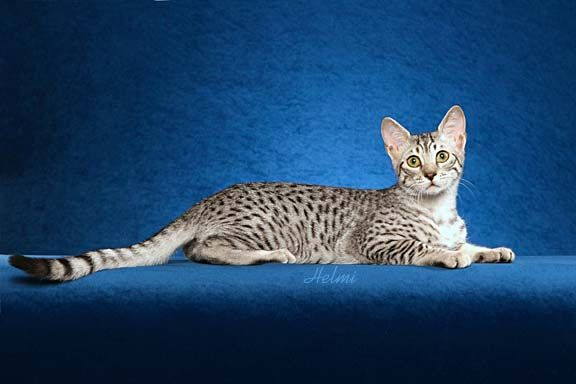 Egyptian Mau Kittens For Sale Kittens For Sale By Reputable Cat