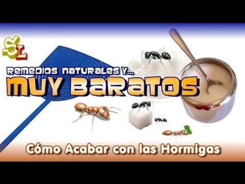 Como Acabar Con Las Hormigas Como Eliminar Las Hormigas De La Cocina Remedio Contra Las