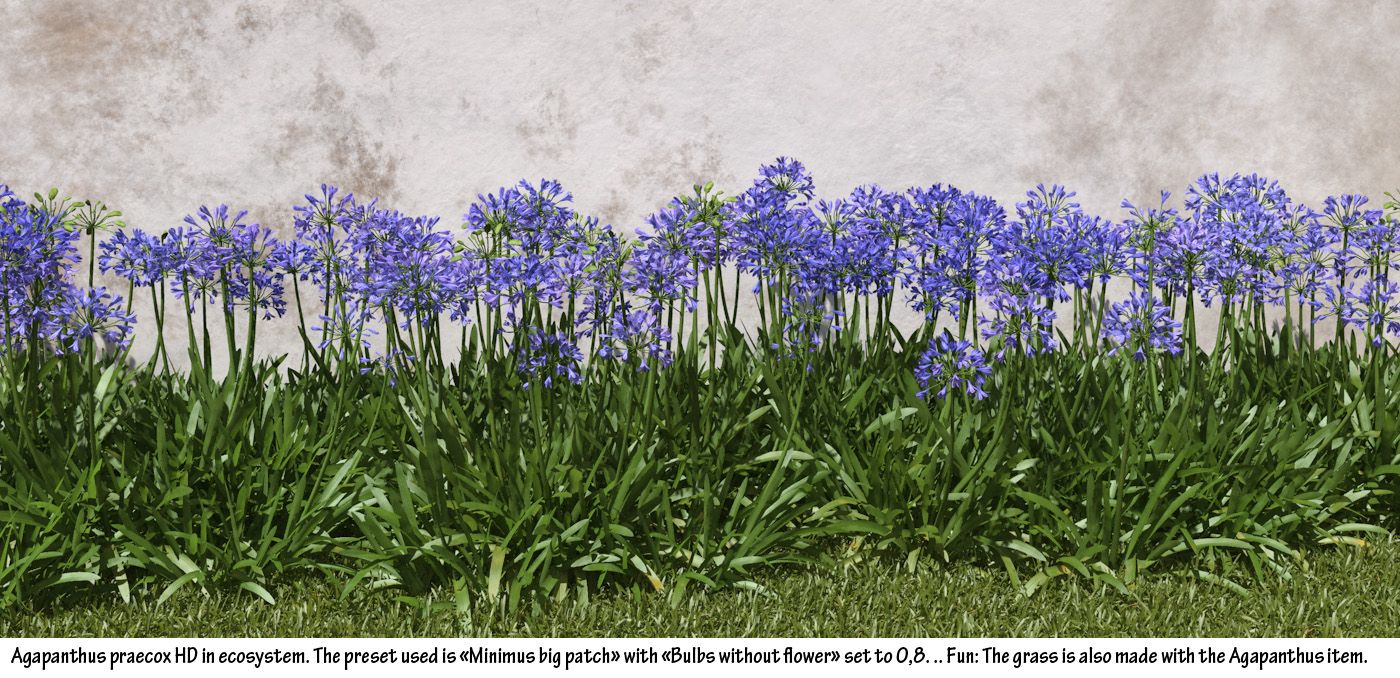 Blue Lily Agapanthus Praecox Blue Lily Of The Nile Hd