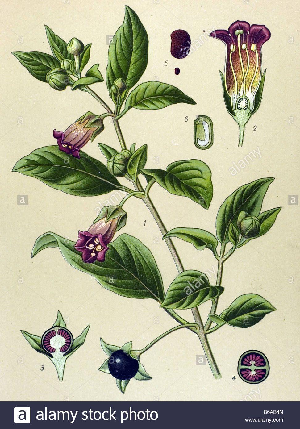atropa belladonna illustration