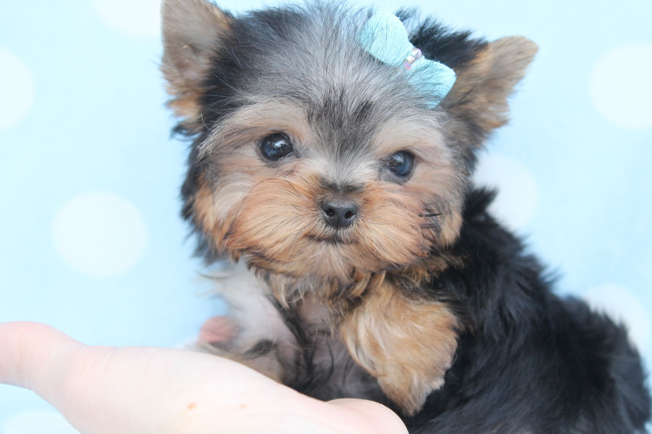 Teacup Yorkie Puppy | teacup yorkie | Pinterest