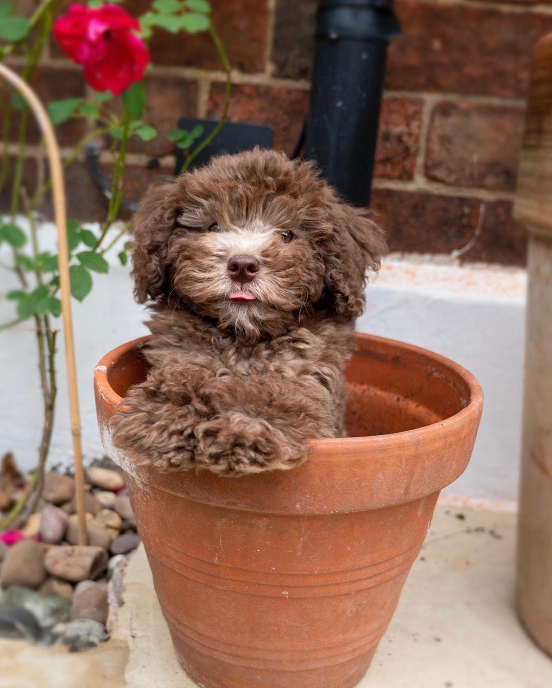 "⭐️Marley⭐️Bear⭐️Toy Poodle on Instagram: ""Happy TOT 😛   🐾 #toypoodle #toypoodlepuppy #toypoodlesofinstagram #poodle #poodlesofinstagram #poodlelove #paws #puppies…"""