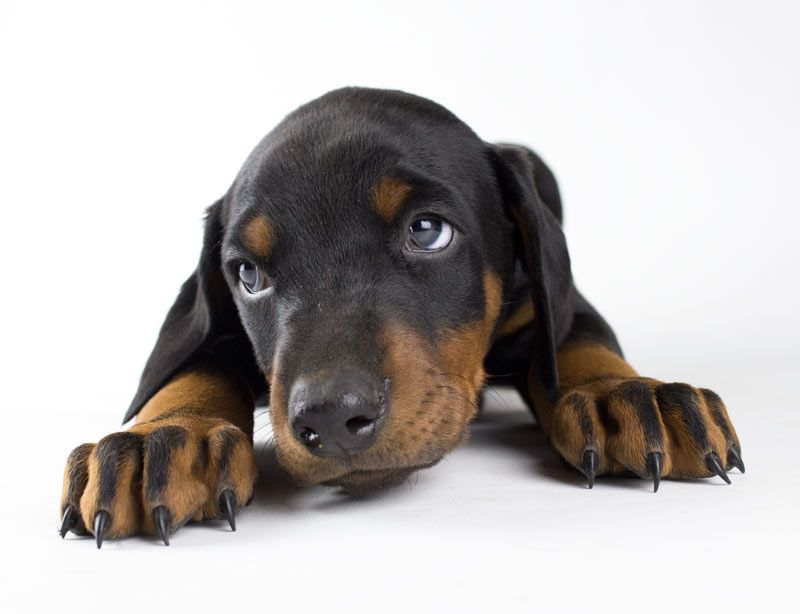 Cutest Puppy Shot So Far Dobbies Of Course Doberman Puppy Red