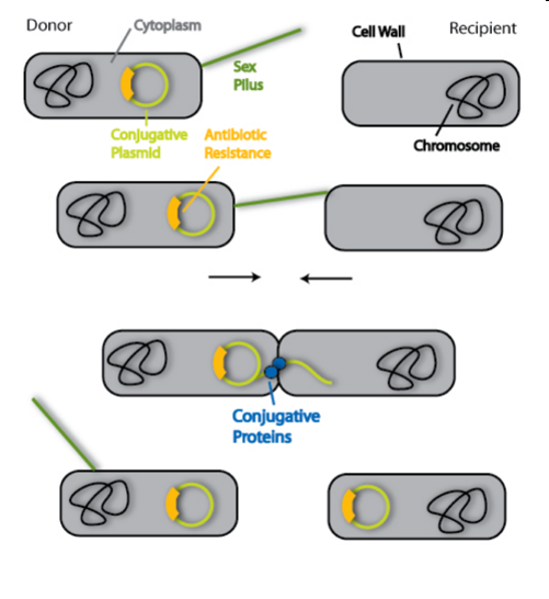 Bacteria reproduce asexually by conjugation of ser