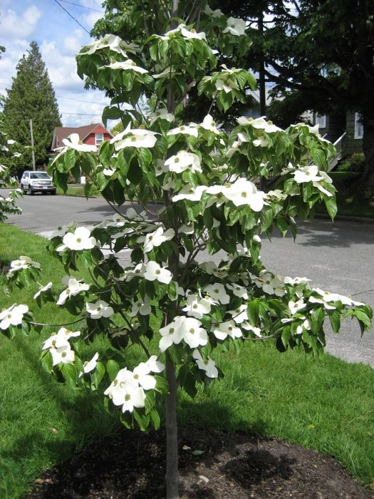 Cornus Starlight Garden Trees Dogwood Trees Small City Garden