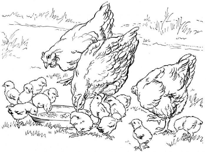 Hens And Chicks To Color Free Coloring Page Farm Animal Coloring Pages Farm Coloring Pages Chicken Coloring Pages