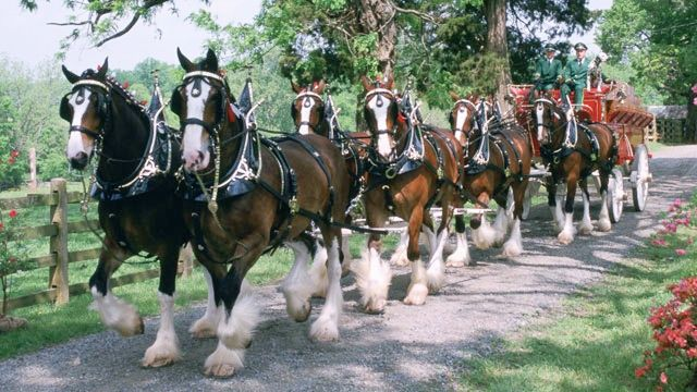 Budweiser Clydesdales coming to New Bern | News - WCTI NewsChannel
