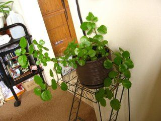 plectranthus en pot en appartement plante d 39 int rieur. Black Bedroom Furniture Sets. Home Design Ideas
