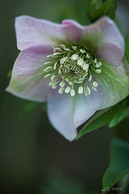 Lenten Rose 'Candy Love' by Jacqui Boonstra**