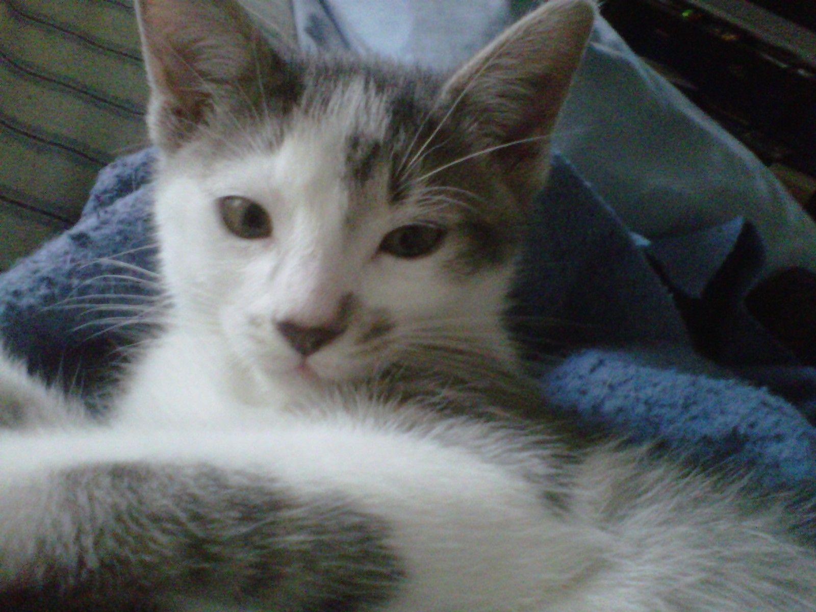 Meeko Cat | Pawshake