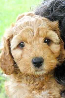 7 Week Apricot Labradoodle Puppy Labradoodle Puppy Puppies