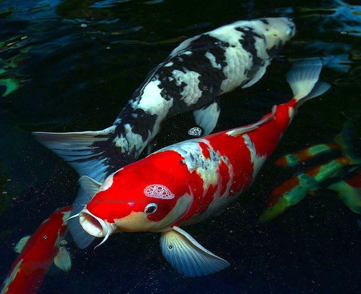 Beautiful Koi Fish Koi 10 Most Beautiful Fishes In The World Koi Fish Koi Fish Colors Koi Fish Pond